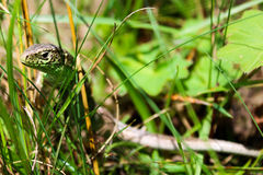 Lagarto - Lacerta Agilis Fotografia de Stock