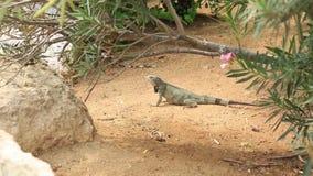 Lagarto lindo cerca de la planta verde Isla de Aruba Fondo asombroso de la naturaleza almacen de metraje de vídeo