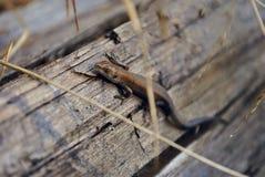 lagarto marrón Foto de archivo