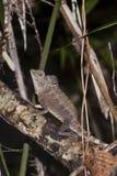 Lagarto masculino de Borneo Anglehead Fotografía de archivo