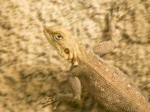 Lagarto Mimetic que corre em um solo arenoso, Senegal Imagens de Stock Royalty Free