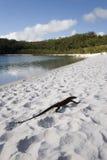 Lagarto na praia Fotografia de Stock