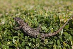 Lagarto nas ilhas de Borromean Foto de Stock Royalty Free