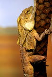 Lagarto necked do folho no jardim zoológico de Taronga Imagens de Stock Royalty Free