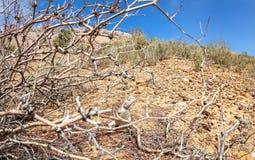 Lagarto no deserto Imagem de Stock Royalty Free