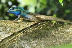 Lagarto o dragones barbudos Imagen de archivo