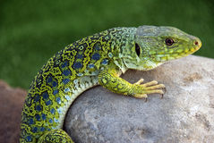 Lagarto Ocelado (lacerta lepida). Iberian lizard species in danger of extinction Royalty Free Stock Image
