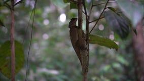 Lagarto oriental del jardín en el árbol almacen de metraje de vídeo