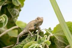 Lagarto oriental do jardim - Calotes Versicolor Fotografia de Stock