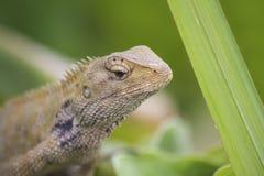 Lagarto oriental do jardim - Calotes Versicolor - macro Fotos de Stock