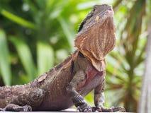 Lagarto ou Dragon Looking Around tropical imagem de stock