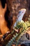 Lagarto pequeno Foto de Stock Royalty Free