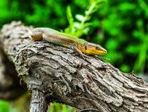 Lagarto que descansa sobre un árbol Foto de archivo