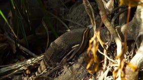 Lagarto que se arrastra a lo largo de árbol tropical torcido de las raíces en cierre del bosque encima del lagarto en reptiles de metrajes