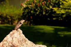 Lagarto que se sienta en una roca que toma el sol en el sol Foto de archivo