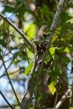 Lagarto que sube un árbol en Guanacaste Imagen de archivo libre de regalías