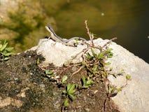 Lagarto que toma sol em Sun na rocha pela lagoa Fotografia de Stock