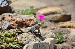 Lagarto (réptil) que senta-se no rosa próximo de pedra fl Fotos de Stock Royalty Free