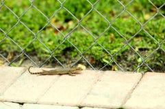 lagarto Rizado-atado, la Florida Foto de archivo libre de regalías