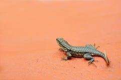 lagarto Rizado-atado, la Florida del sur Imagen de archivo libre de regalías