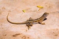 lagarto Três-eyed Imagem de Stock