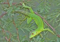 Lagarto verde Imagenes de archivo