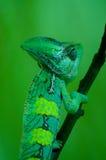 Lagarto verde Fotos de Stock