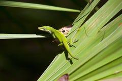 Lagarto verde Foto de archivo libre de regalías