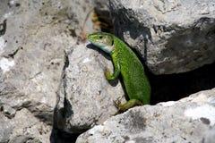 lagarto verde Foto de Stock Royalty Free