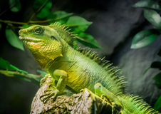 Lagarto verde Fotos de Stock Royalty Free