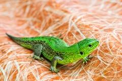 Lagarto verde Imagem de Stock Royalty Free