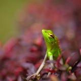 Lagarto verde Fotografía de archivo libre de regalías