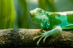 Lagarto verde Foto de archivo