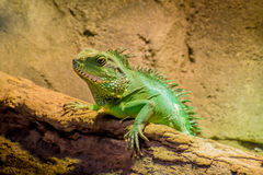 Lagarto verde con el camaleón de los puntos que miente en el sol Imagenes de archivo