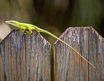 Lagarto verde de Anole Fotografía de archivo libre de regalías