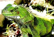 Lagarto verde de la iguana Fotos de archivo