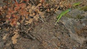 Lagarto verde del camaleón almacen de metraje de vídeo