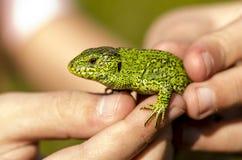 Lagarto verde en las manos de un niño Foto de archivo