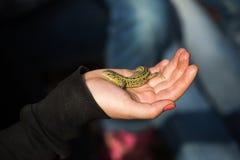 Lagarto verde en mano del niño Foto de archivo libre de regalías