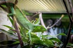 Lagarto verde en una jaula - gutturosus del ` s Bush Anole Polychrus de Berthold Fotografía de archivo