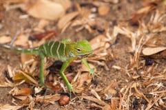 Lagarto verde o Calotes Calotes del bosque que come un insecto en Sri Lanka Foto de archivo libre de regalías