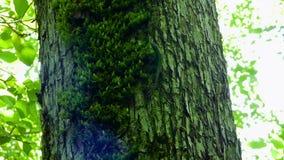 Lagarto verde pequeno (agilis do Lacerta) que move-se ao longo do tronco de árvore filme