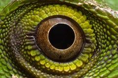 Lagarto verde - Polychrotidae ou Anoles imagens de stock royalty free