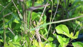 Lagarto verde que oculta en el arbusto verde almacen de metraje de vídeo