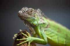 Lagarto verde que se sienta en el árbol Imagen de archivo libre de regalías