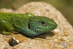 Lagarto verde/viridis del Lacerta fotografía de archivo libre de regalías