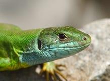 Lagarto verde/viridis del Lacerta imagen de archivo libre de regalías