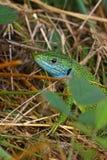 Lagarto verde (viridis do Lacerta) Fotografia de Stock Royalty Free