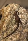 Lagarto viviparamente, vivipara de Zootoca, descansando em uma rocha Imagem de Stock