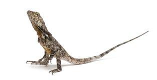 lagarto Volante-necked imagen de archivo libre de regalías